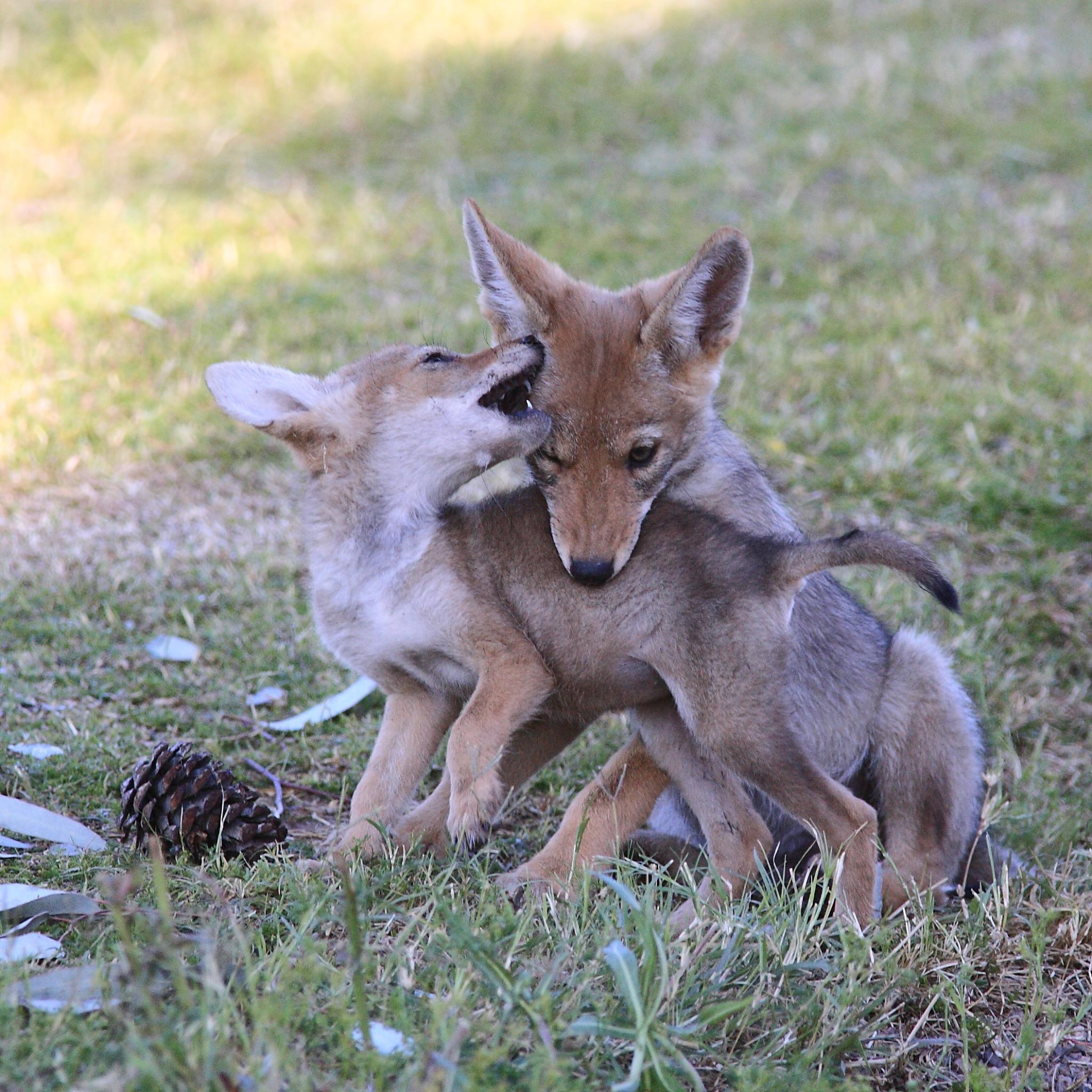 Coyote Killing Cat Video