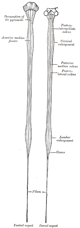 Diagrams of the medulla spinalis.
