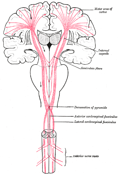 Corticospinal Tract