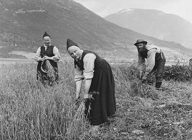 Harvesting of oats in Jølster, Norway ca. 1890.