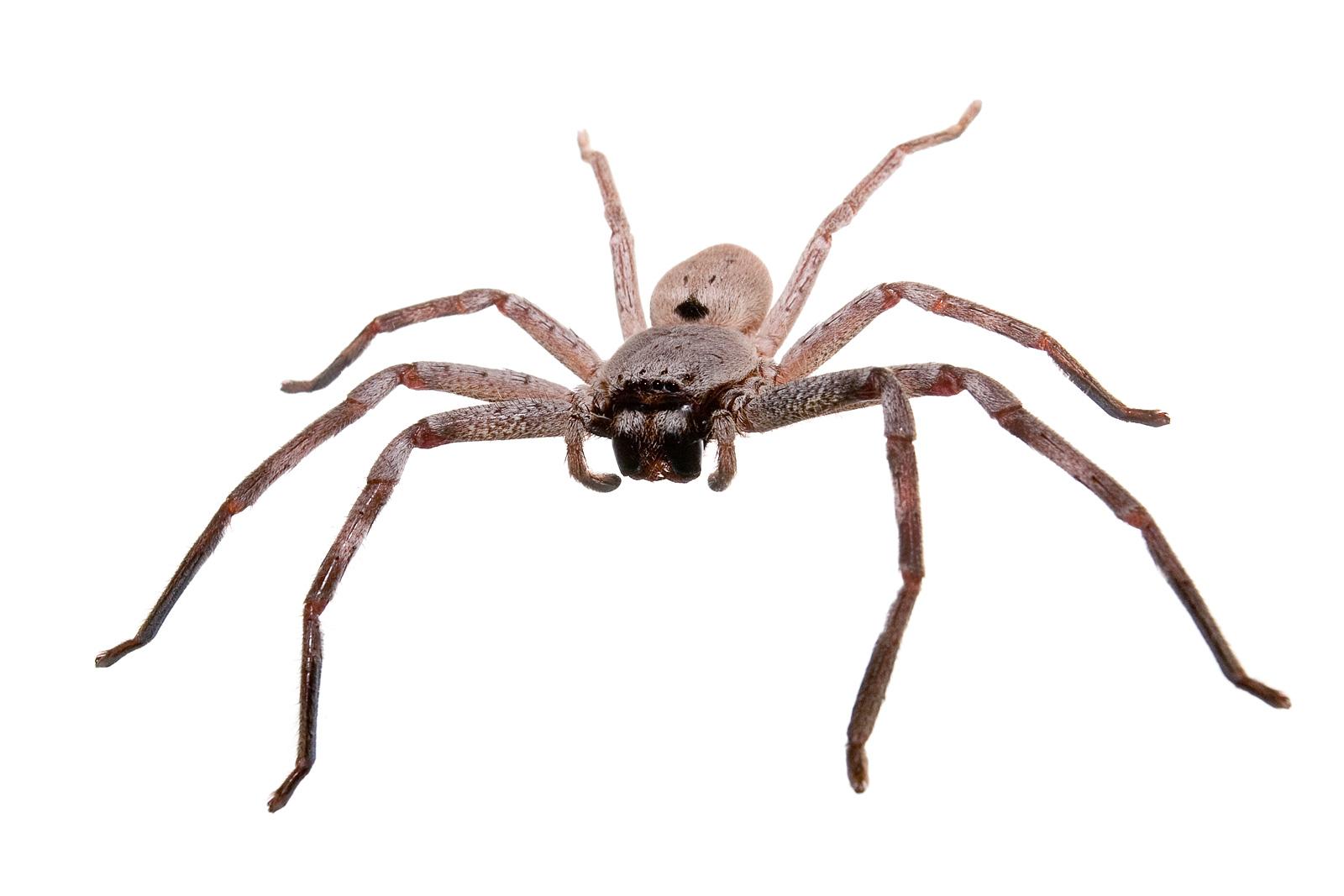 Australian spider gif