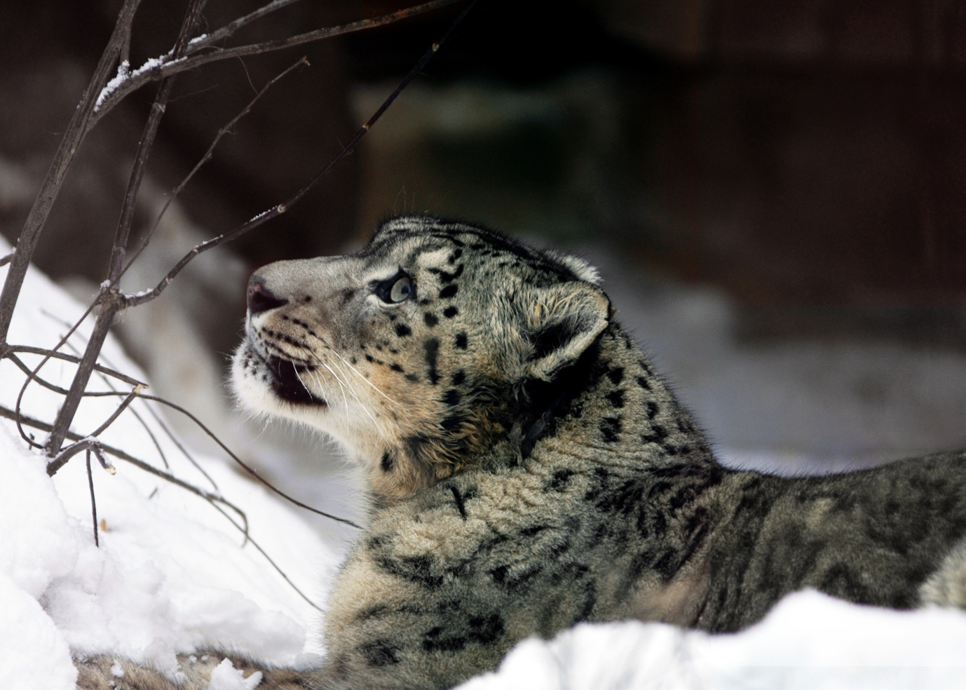 English: snow leopard