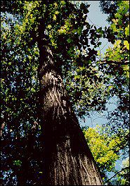 <i>Juglans cinerea</i> species of plant