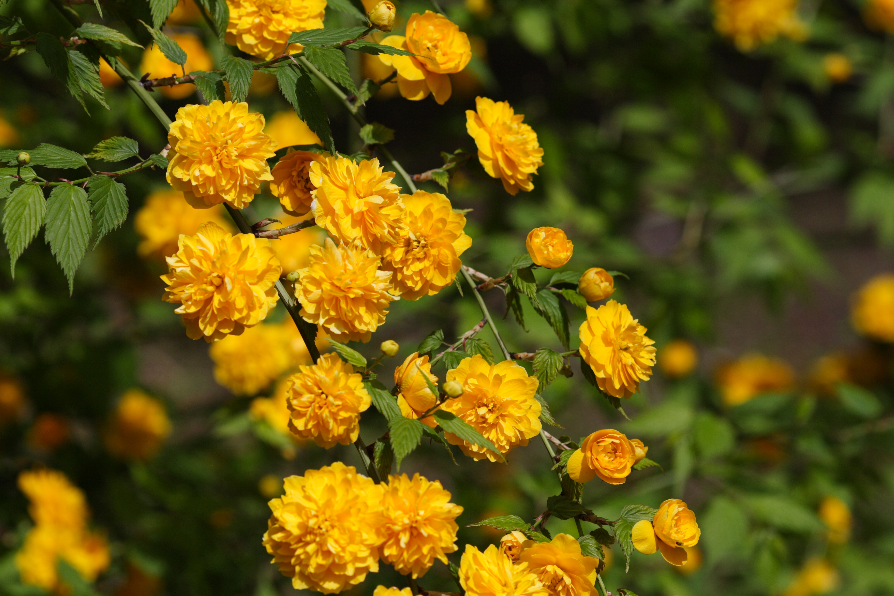 File kerria japonica 001 wikimedia commons for Kerria japonica