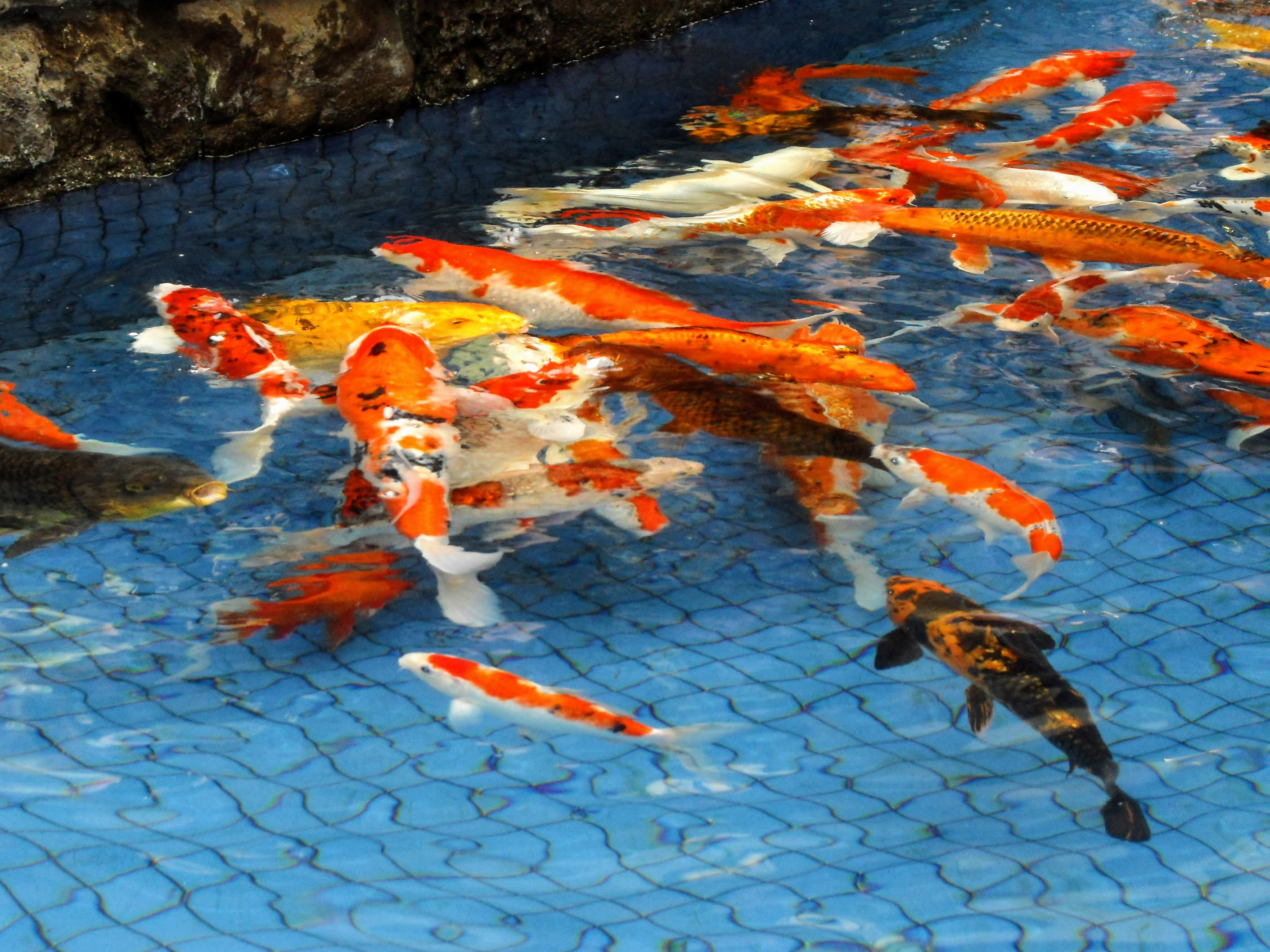 File koi pond wikimedia commons for Koi pond size