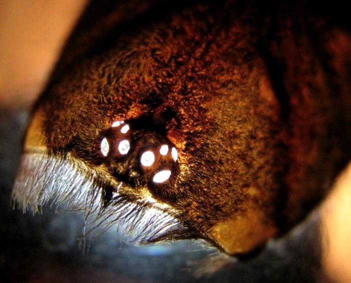 File:Lasiodora parahybana, eyes.JPG