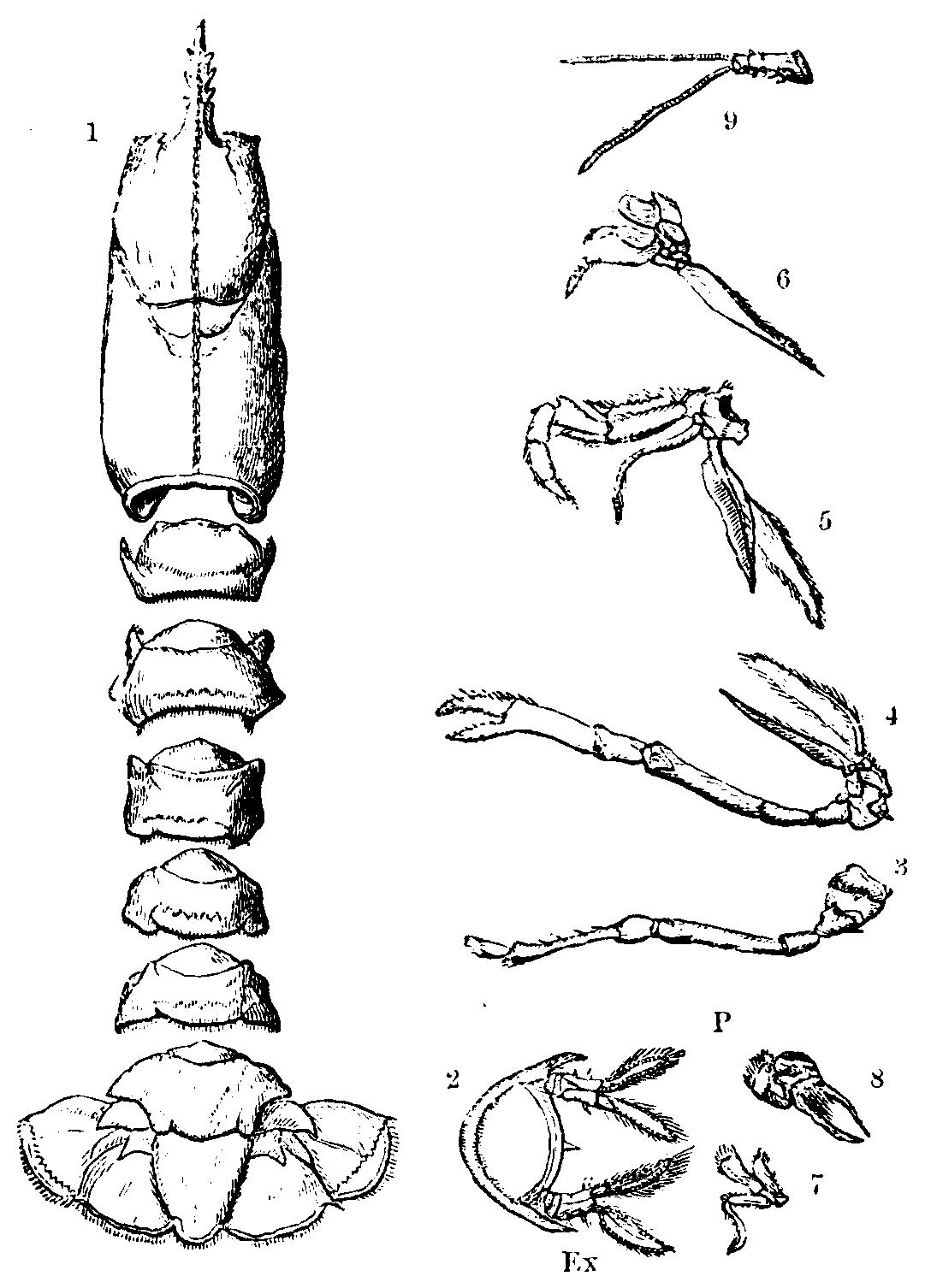 File:Lobster Skeleton Mivart.png - Wikimedia Commons