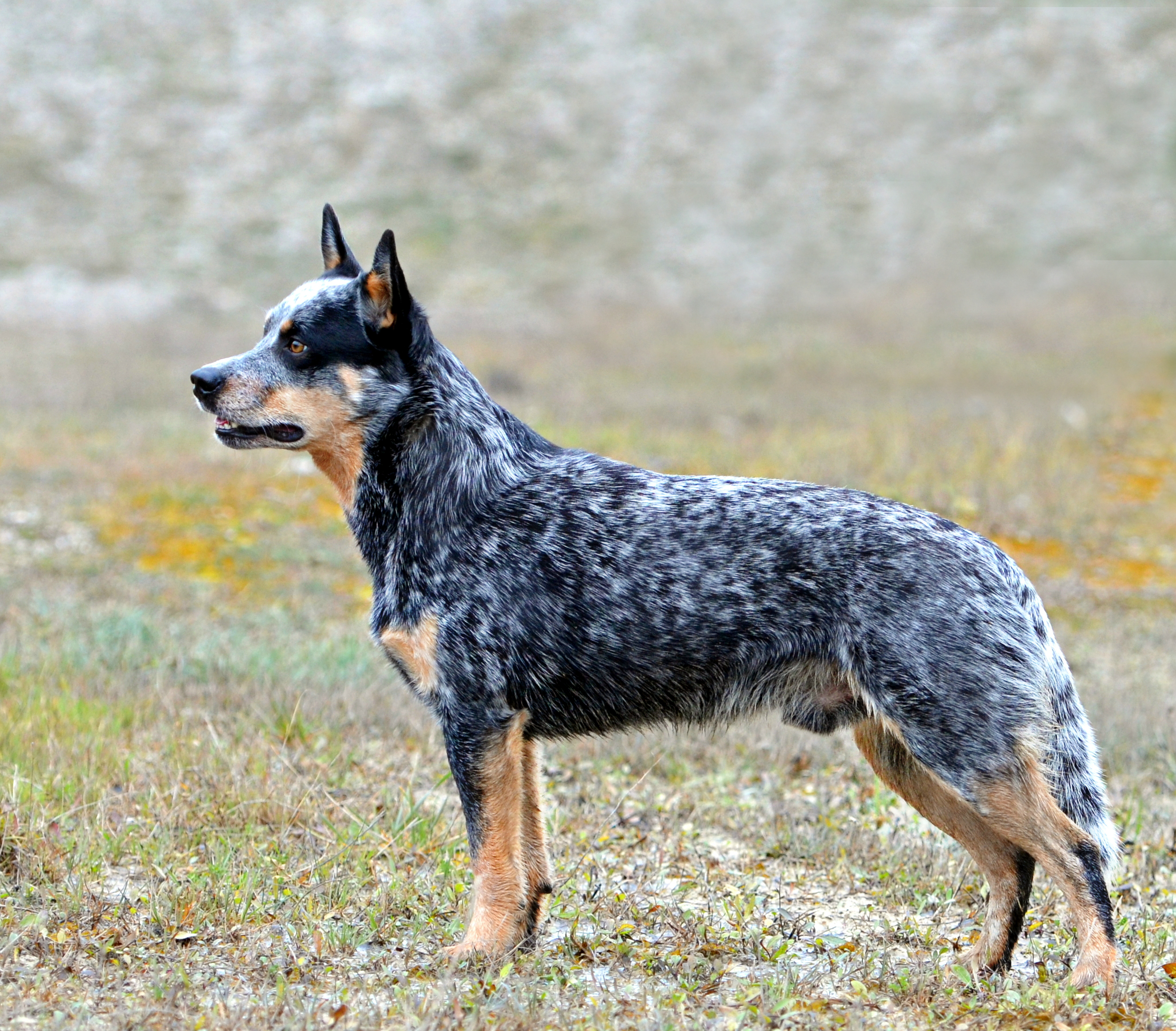 Australian Cattle Dog – Wikipedia