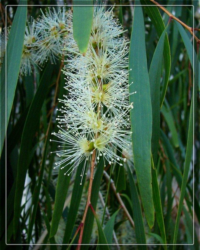 Melaleuca leucadendra 1.jpg