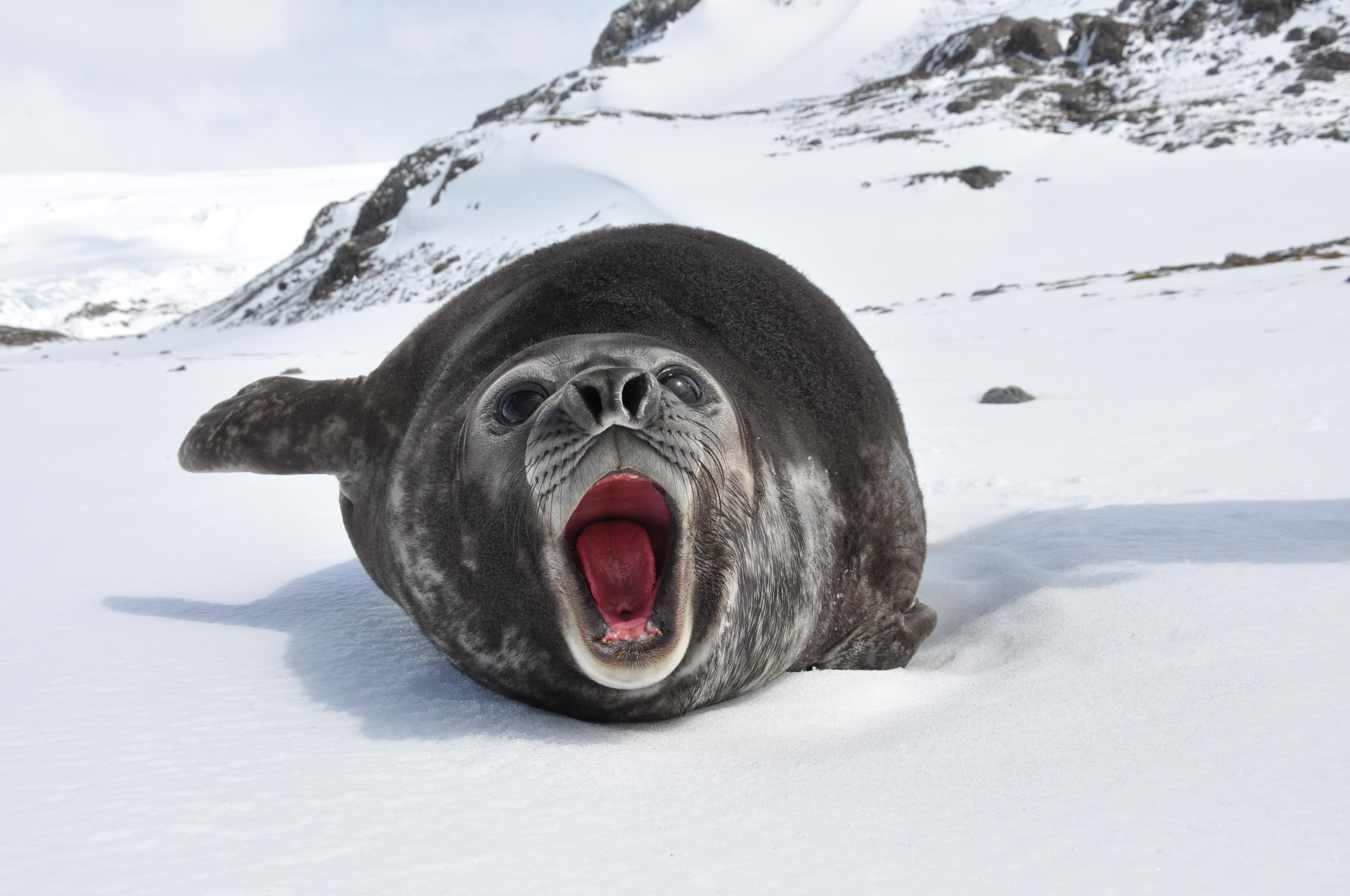Metric O Ring Size Chart: Elephant seal - Wikipedia,Chart