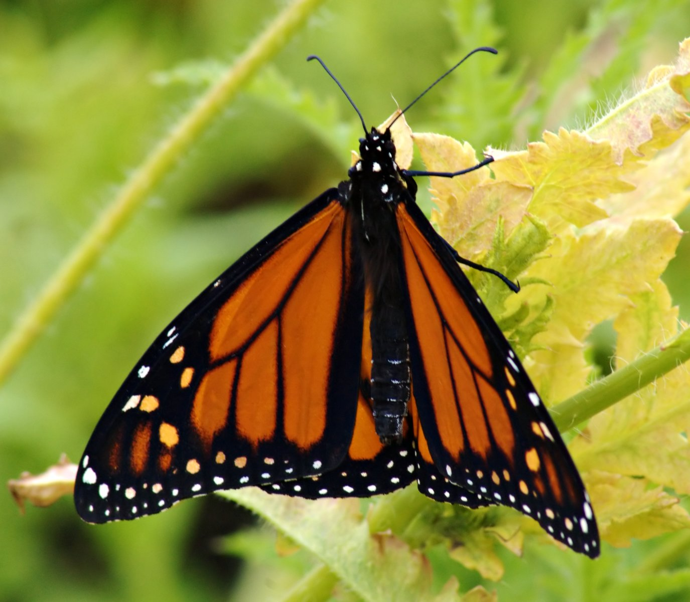 Monarch butterfly body - photo#27