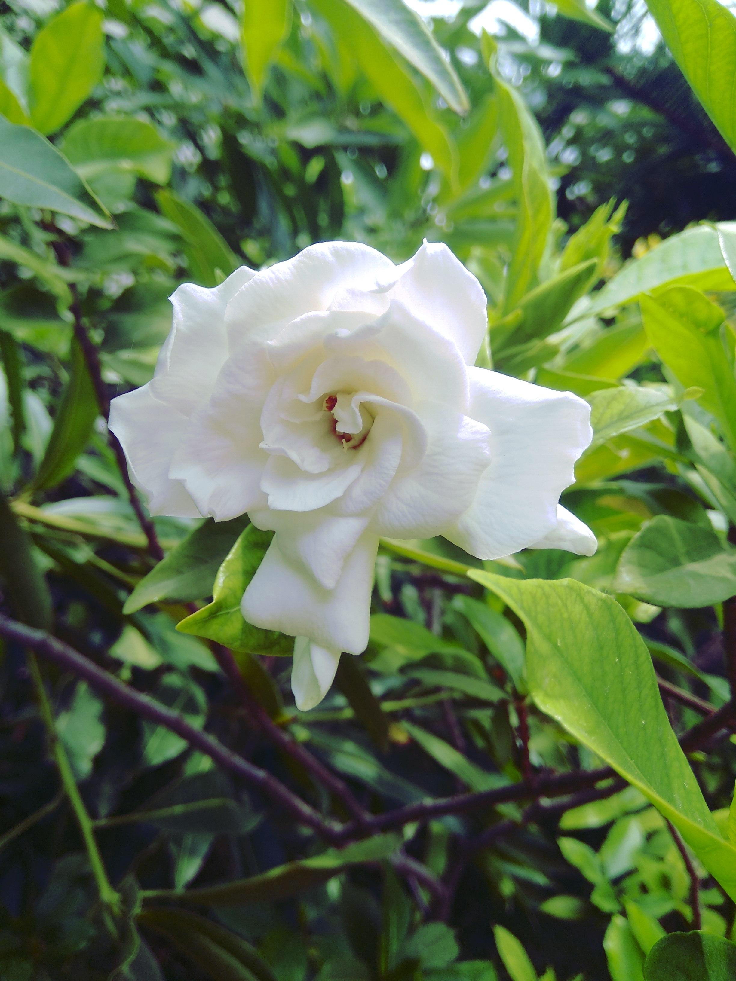 Filenyctanthes Arbor Tristis Night Flowering Jasmineg
