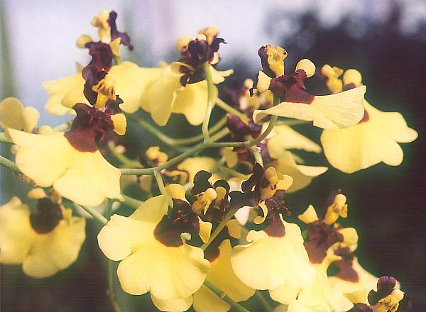English: Oncidium varicosum (an orchid)