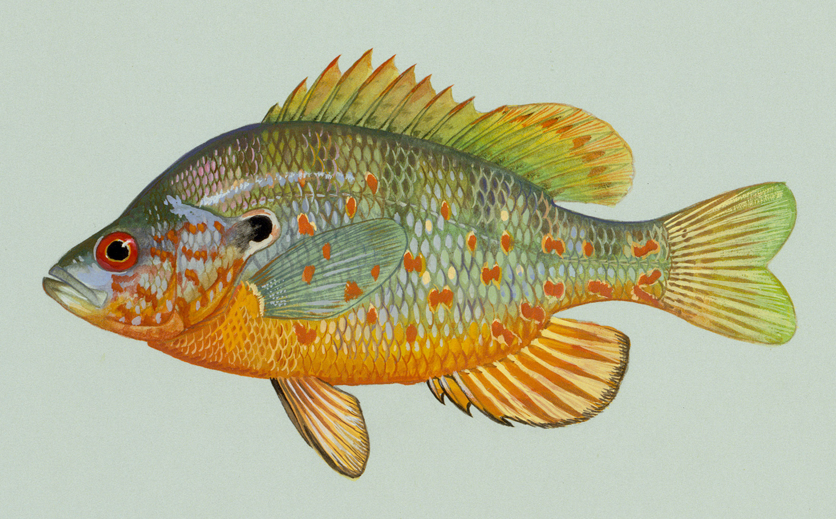 Freshwater sunfish images galleries for Sun perch fish