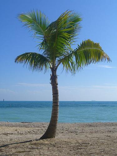 Palmier vikidia l encyclop die des 8 13 ans - Image palmier ...
