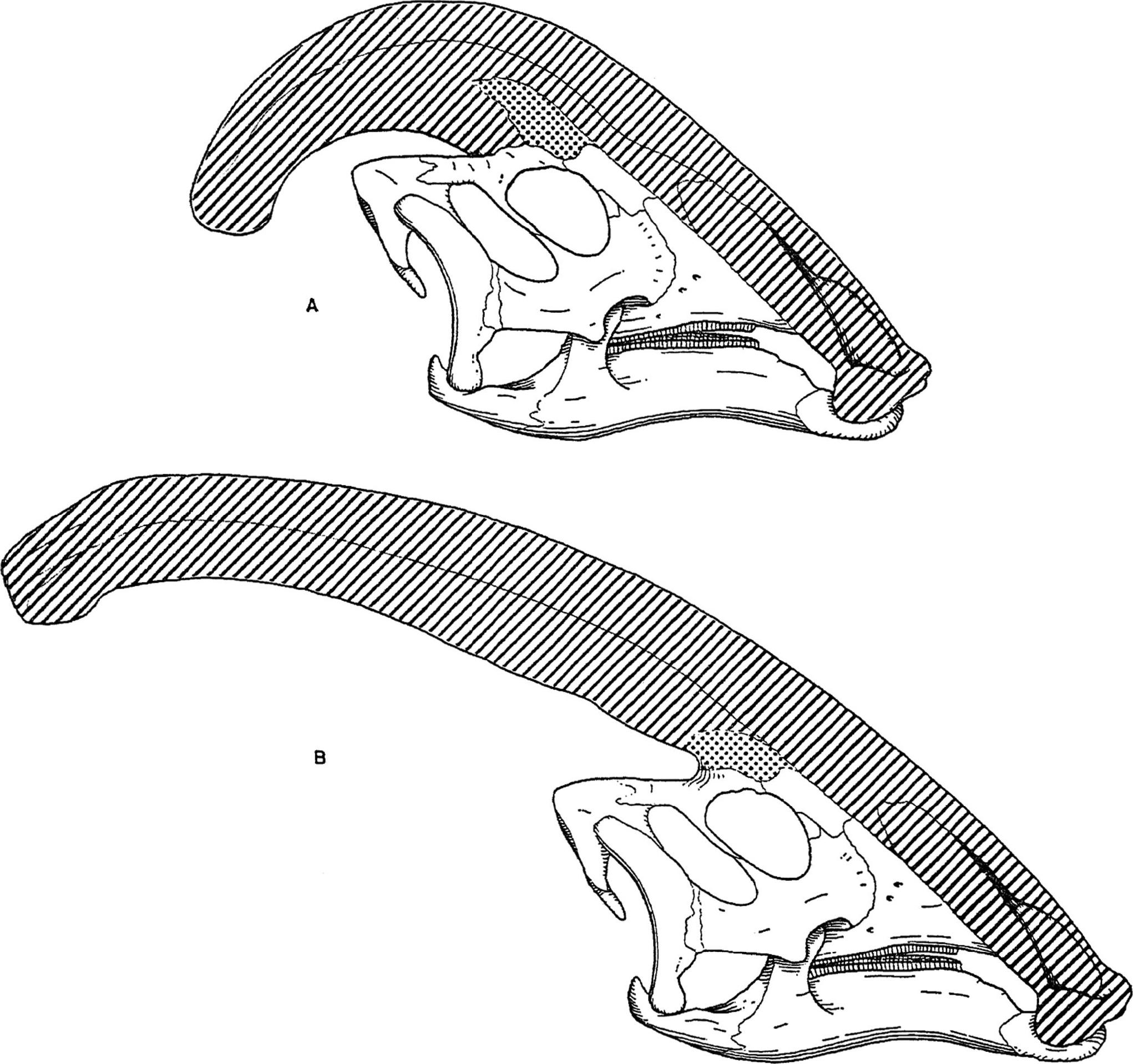 File Parasaurolophus Skulls Jpg