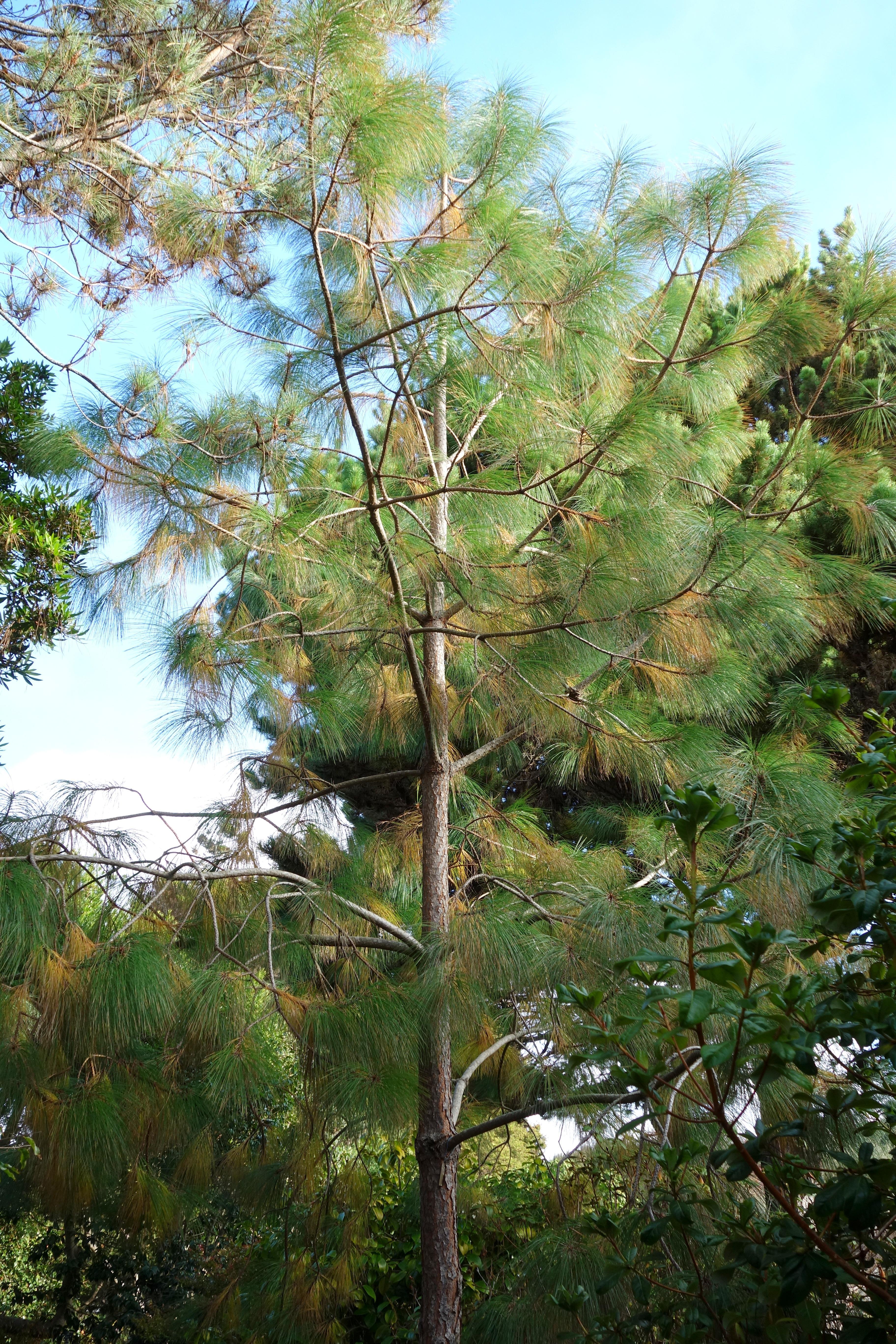 File pinus apulcensis mendocino coast botanical gardens - Mendocino coast botanical gardens ...