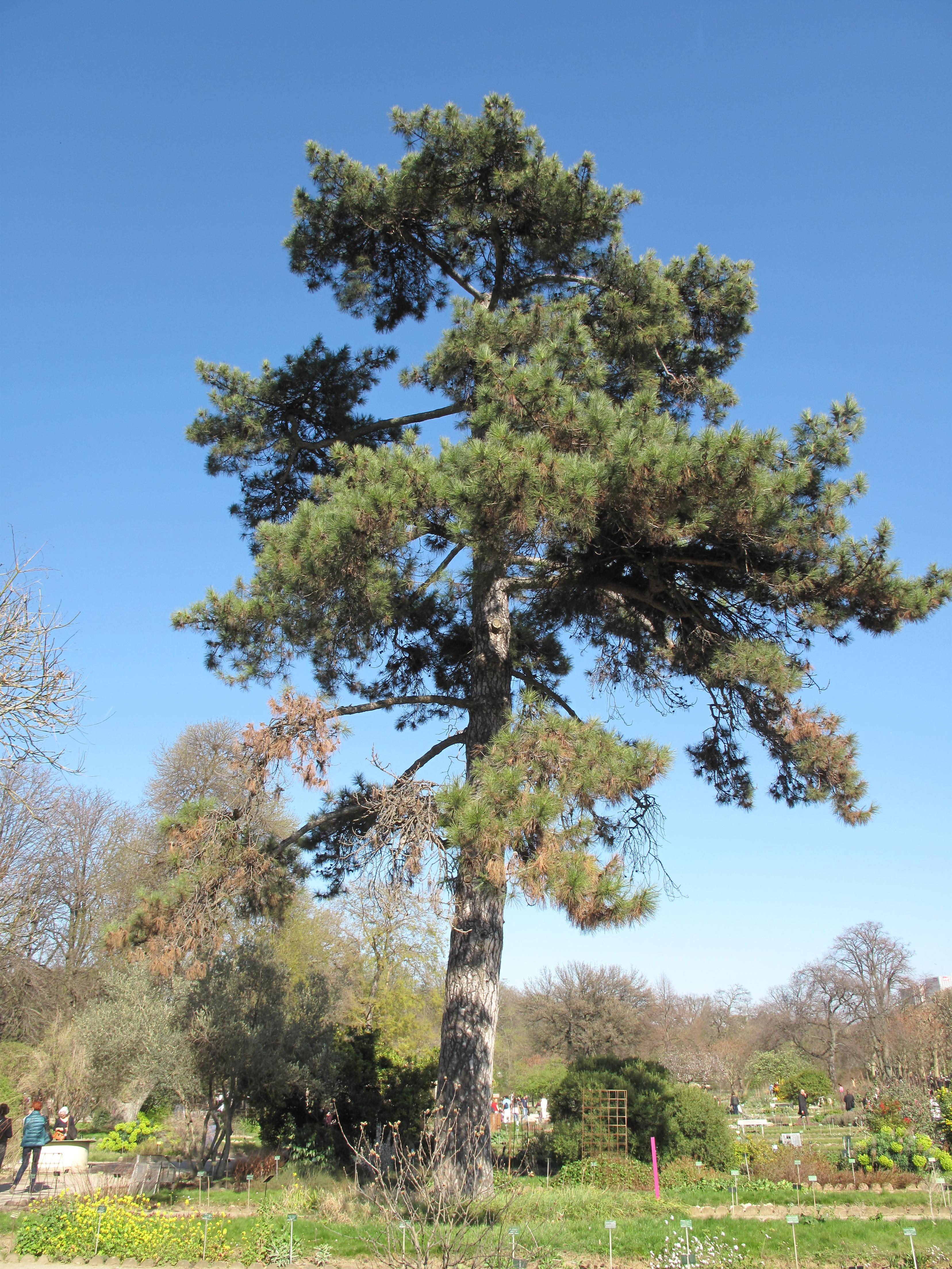 File Pinus nigra subsp laricio var corsicana Jardin des Plantes