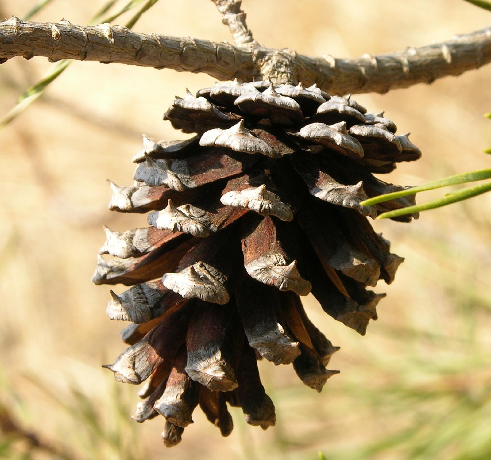 File Pinus Virginiana Scrub Pine Cone 1600px Jpg