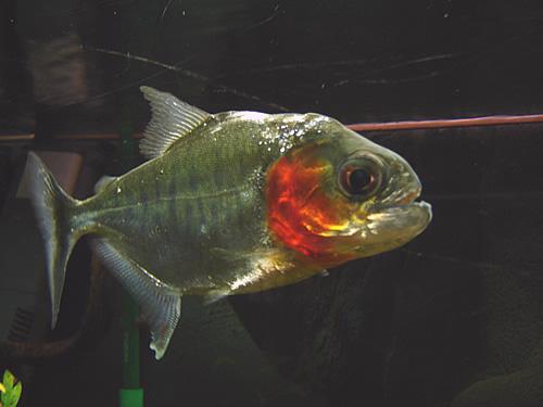 Piranha-serrasalmus_manueli_01.jpg