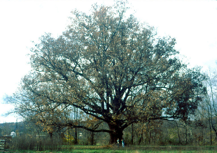Quercus alba - Wikipedia  Quercus alba - ...