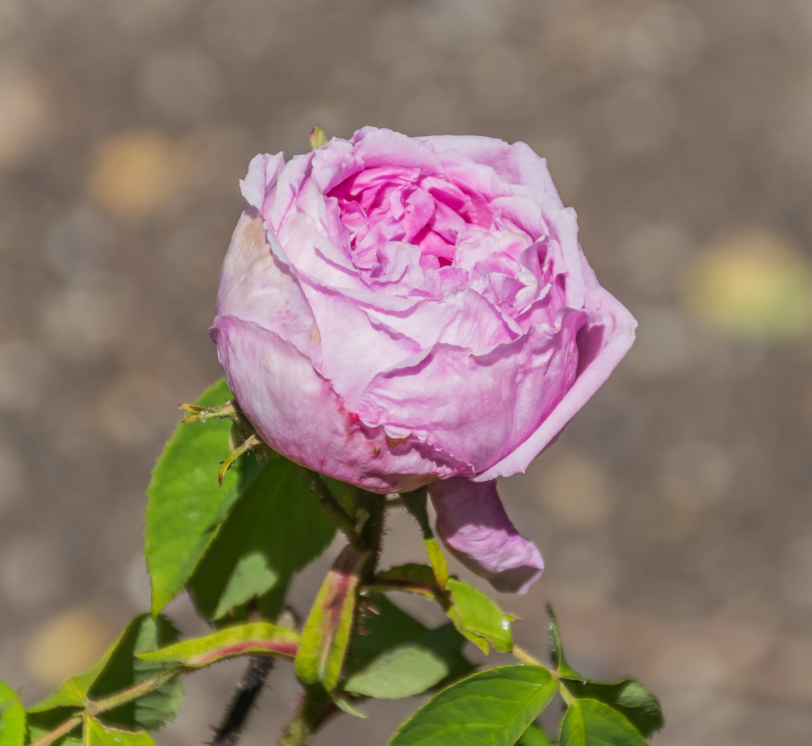 File Rosa Belle Amour In Dunedin Botanic Garden 02 Jpg Wikimedia Commons