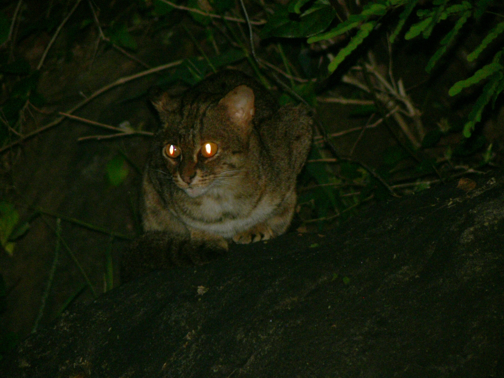 http://upload.wikimedia.org/wikipedia/commons/6/68/Rustyspottedcat.jpg