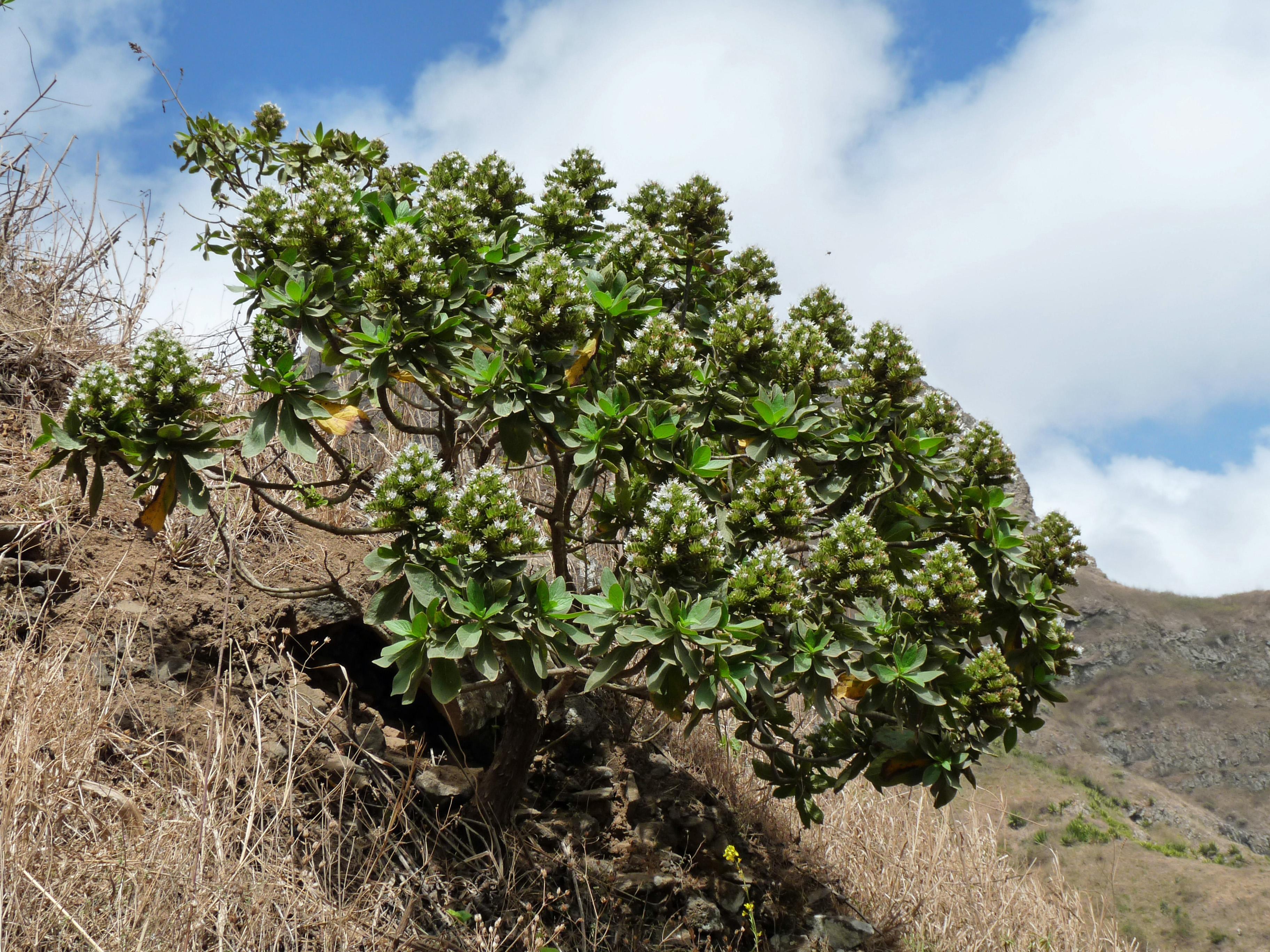 Echium hypertropicum (Fotografía propiedad de Ji-Elle)