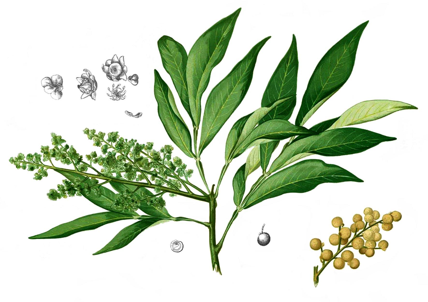 Sapindus Saponaria Wikipedia