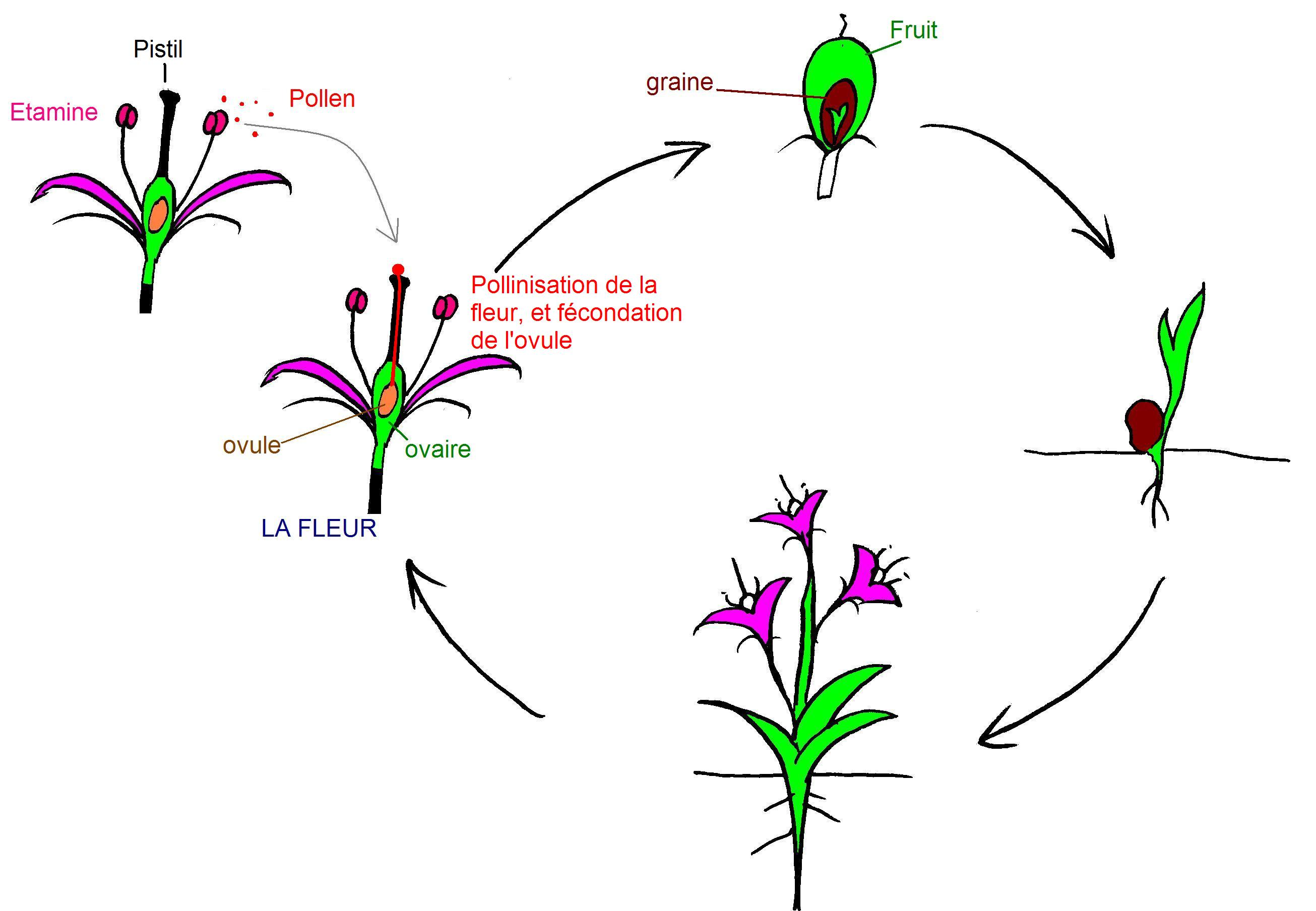 http://upload.wikimedia.org/wikipedia/commons/6/68/Schema_cycle_angiosperme.JPG