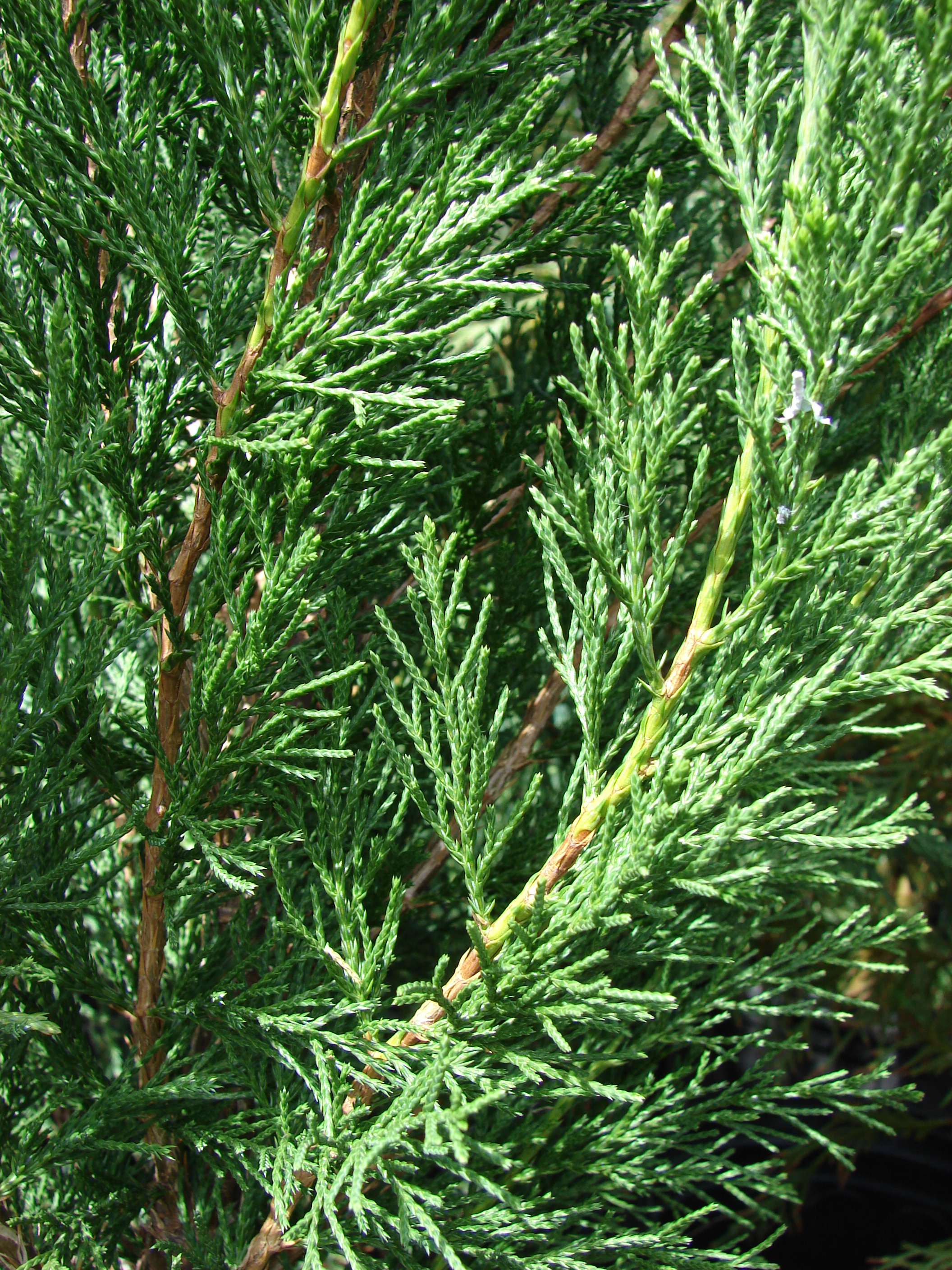 Juniperus chinensis for The juniper