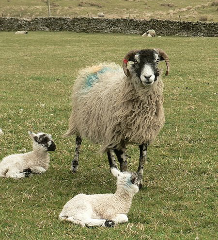 Swaledale ewe and twins