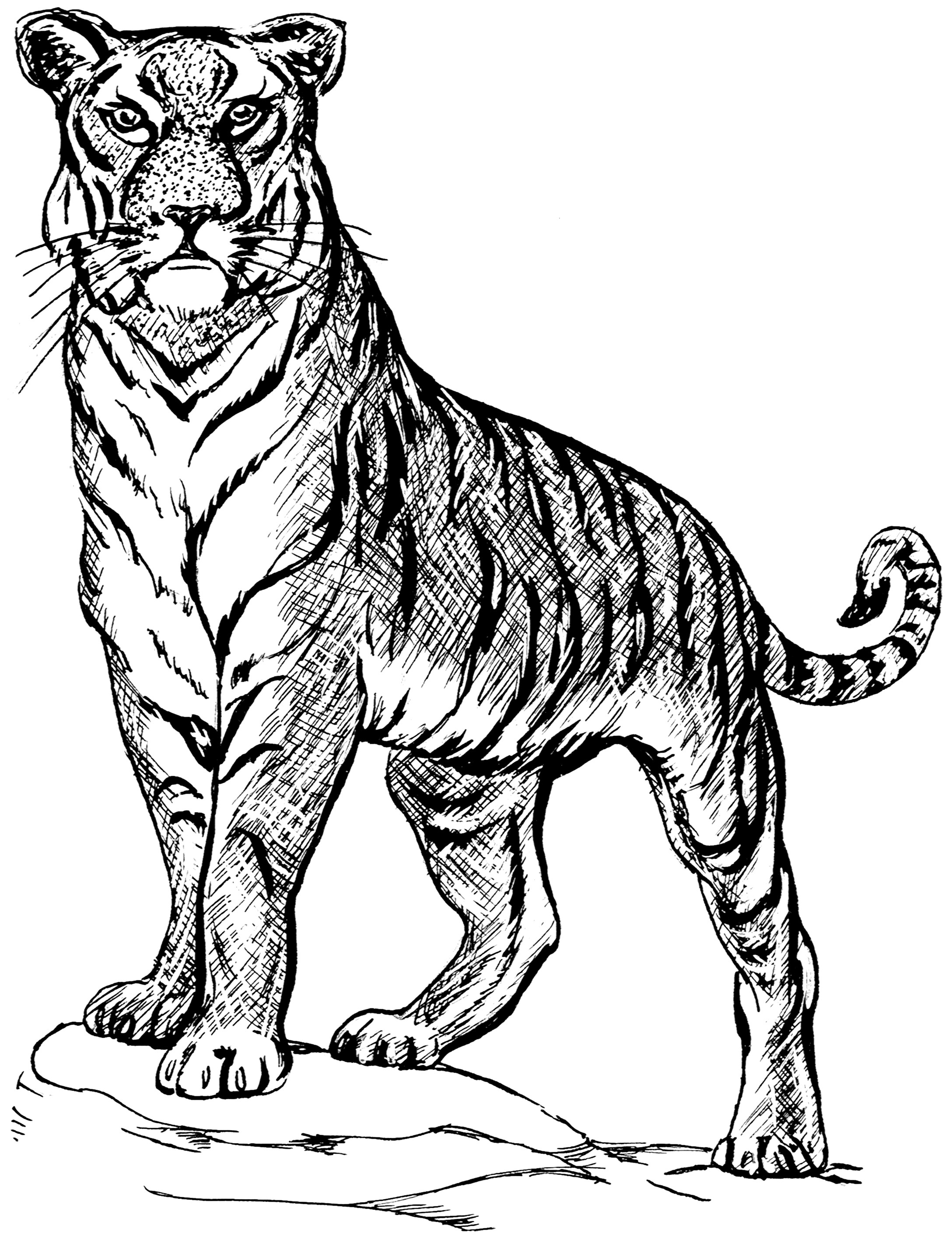 file tiger 3 psf png wikimedia commons