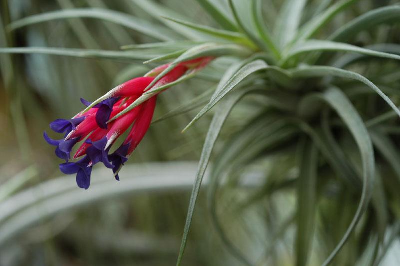 Tillandsia usneoides porción pequeña plantas CLAVEL DE AIRE 20 cms aprox.