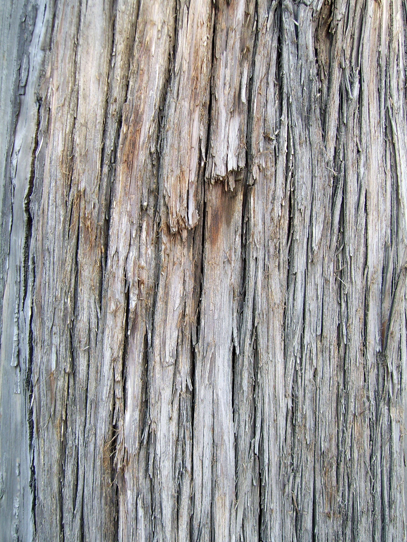Description tree bark juniperus chinensis