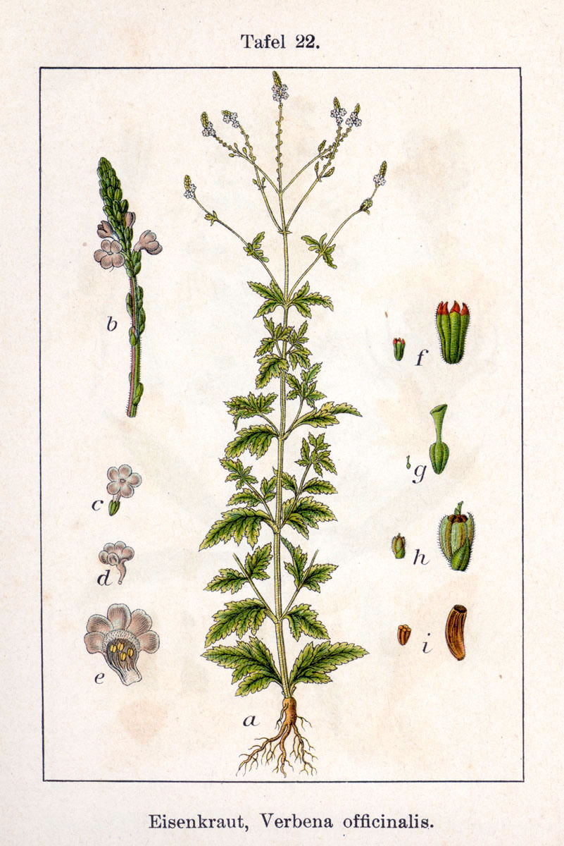 Verbena officinalis Sturm22.jpg