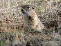 Washington ground squirrel species of mammal