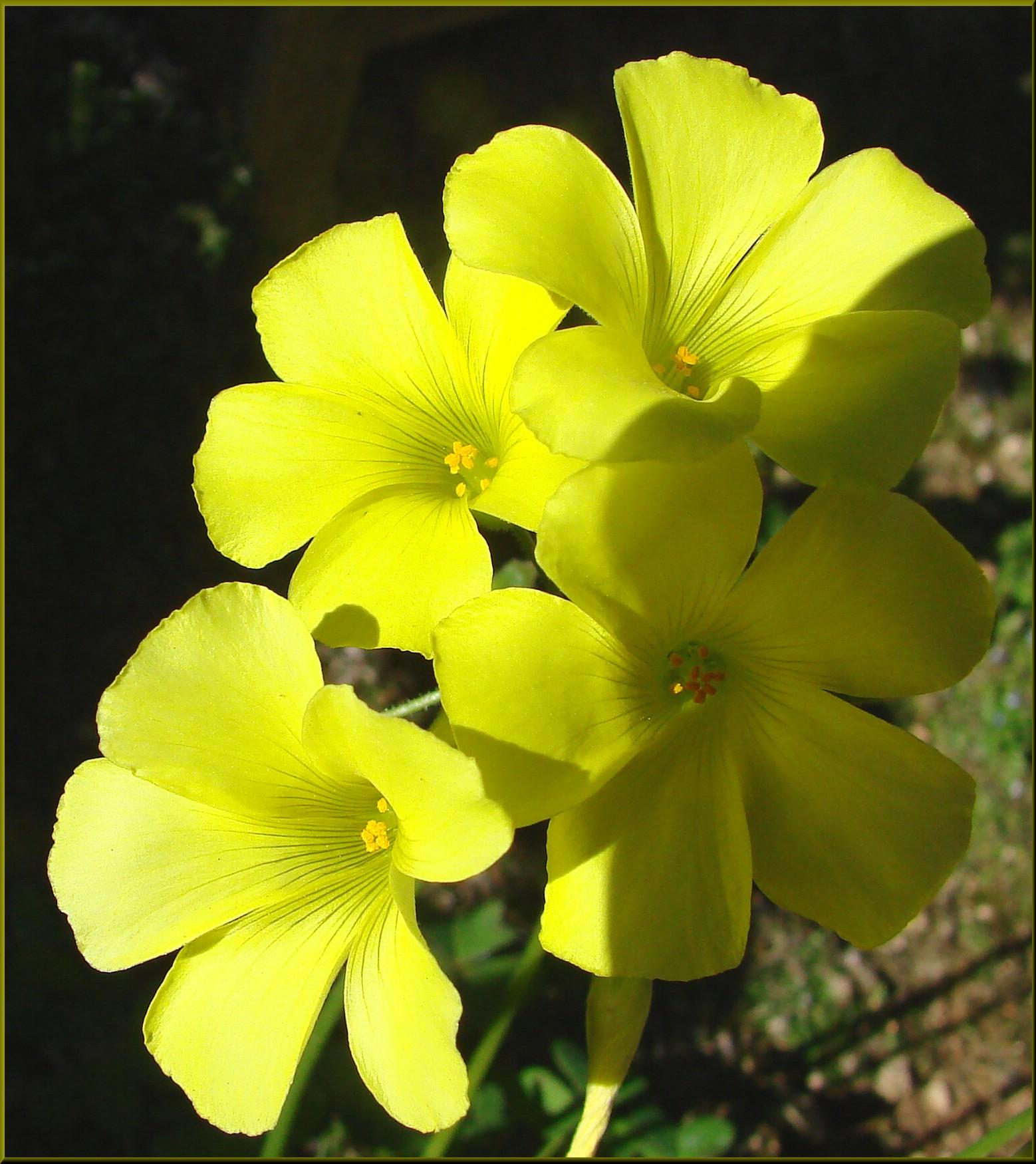 Fileyellow Clover Flower Home 3 10 13a 8551524331g