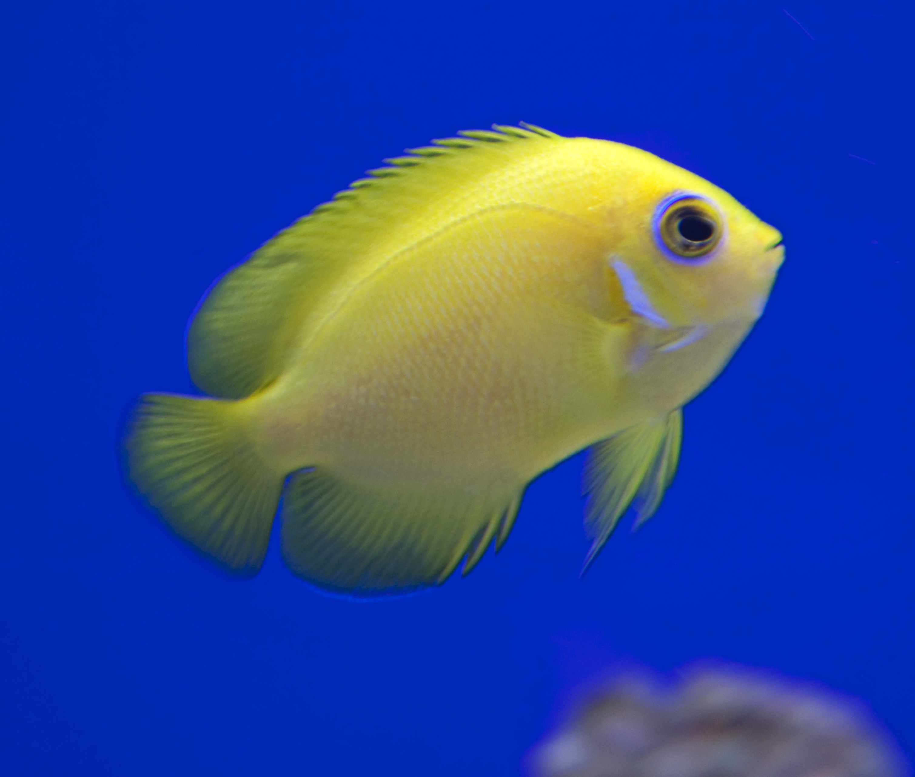Types of tropical fish yellow pictures to pin on pinterest for Yellow tropical fish