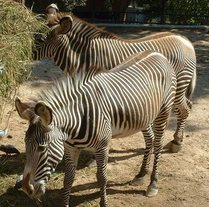 Imagem:Zebra de Grevy.JPG