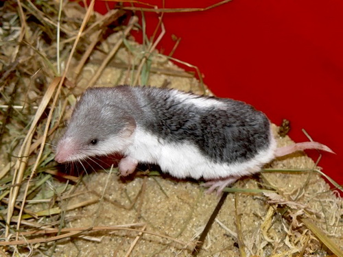 The average litter size of a Piebald shrew is 5