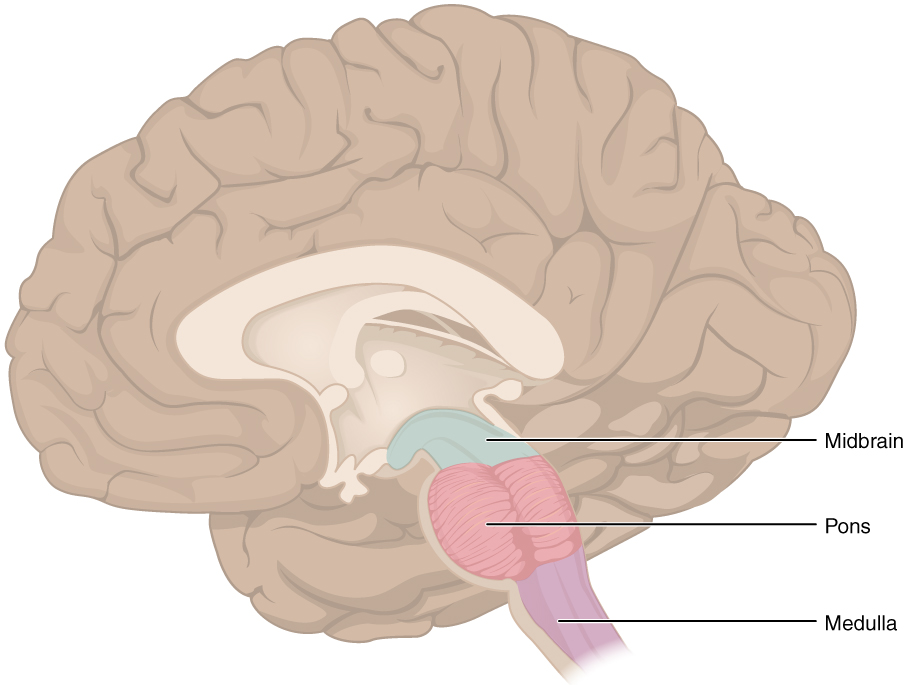 The brain stem of a human brain
