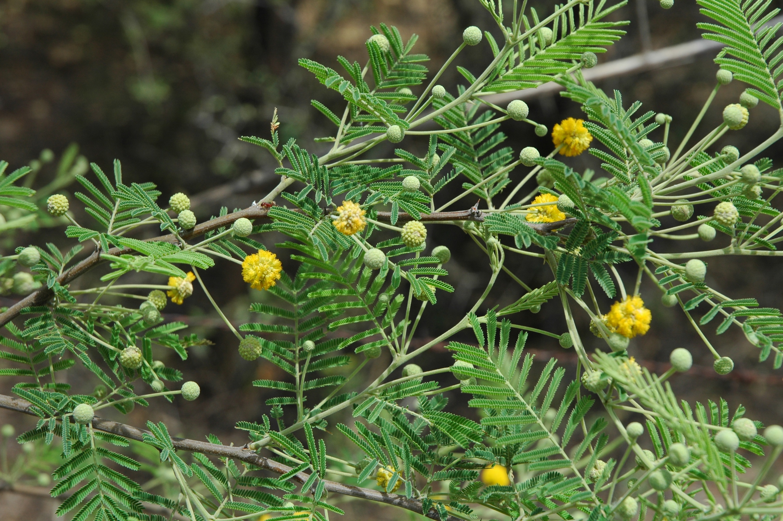 What Is A Knifeleaf Acacia Tree: Tips On Growing Knifeleaf
