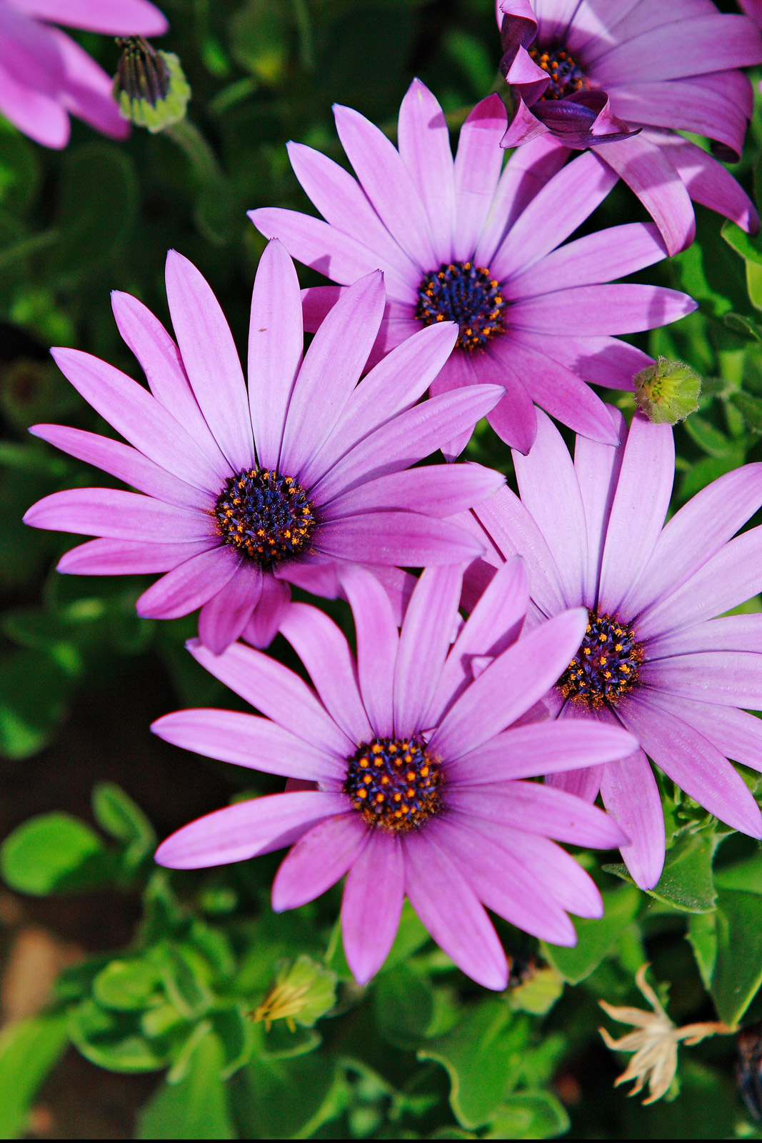 Looking for a flower similar to a black eyed susan but a different color