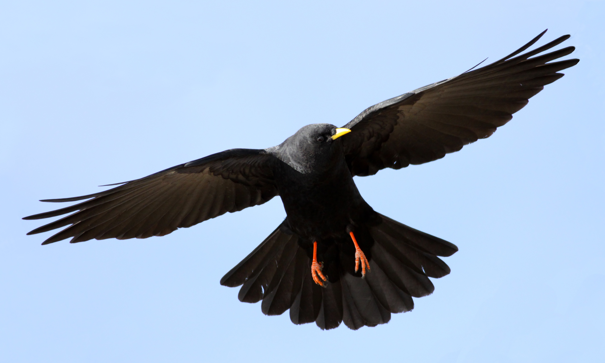 Image result for Alpine Chough