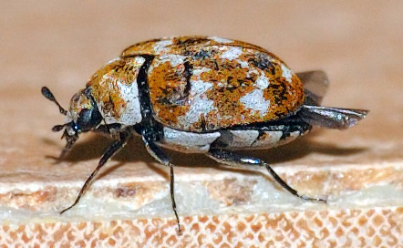 a varied carpet beetle on the carpet