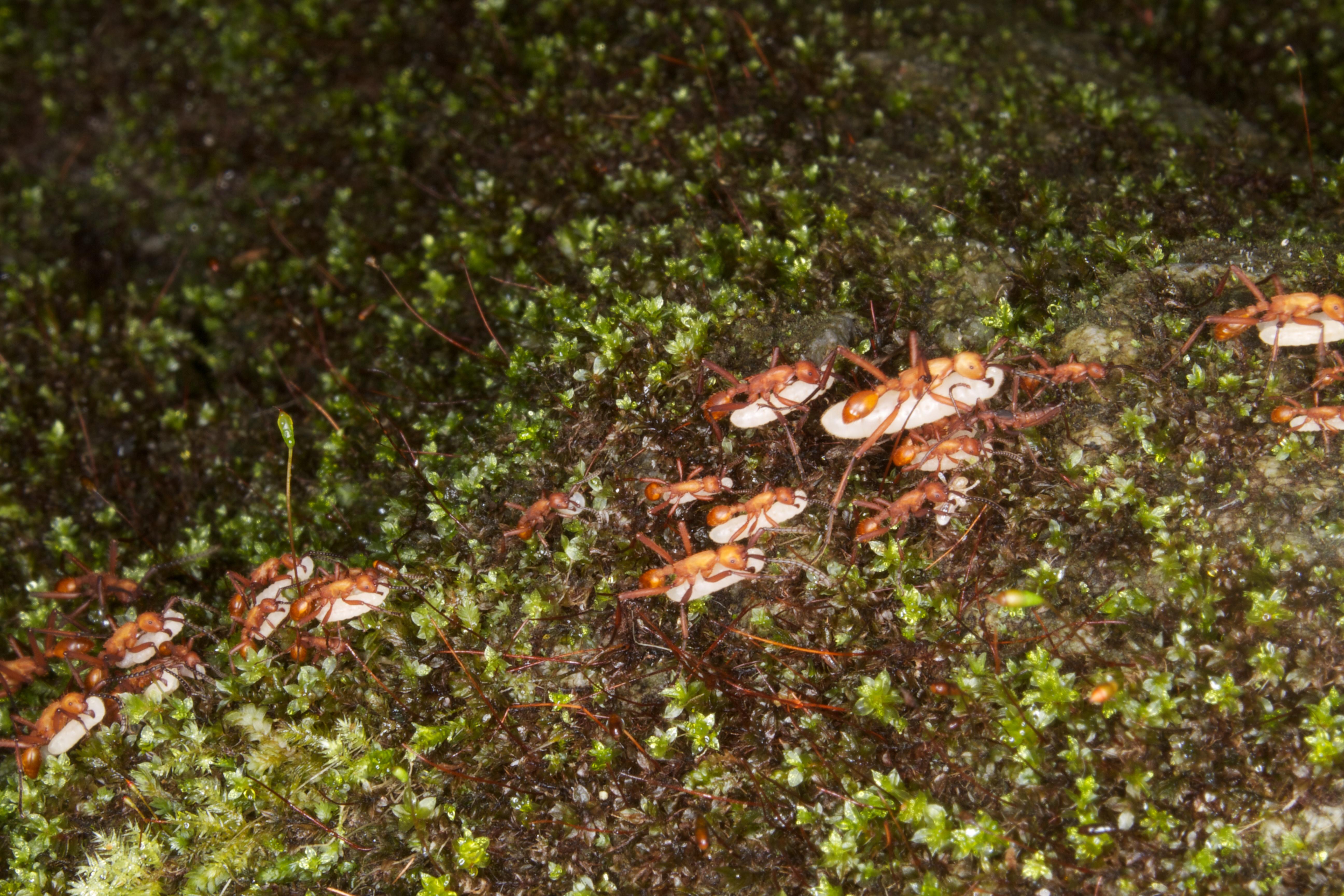 File:Army Ants Genus- Eciton (11057740974).jpg - Wikimedia ...