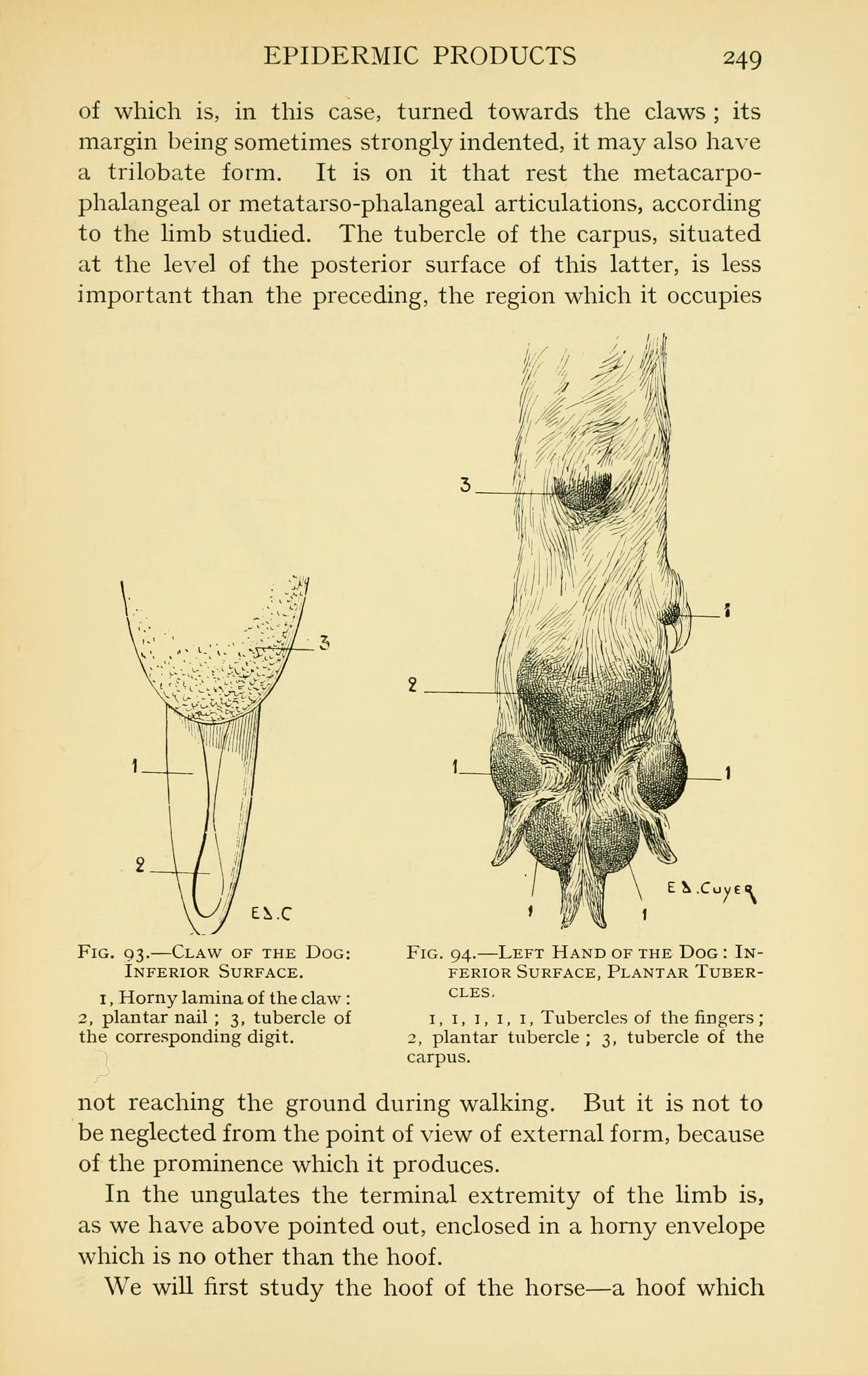 File:Artistic anatomy of animals (Page 249) BHL22847644.jpg ...
