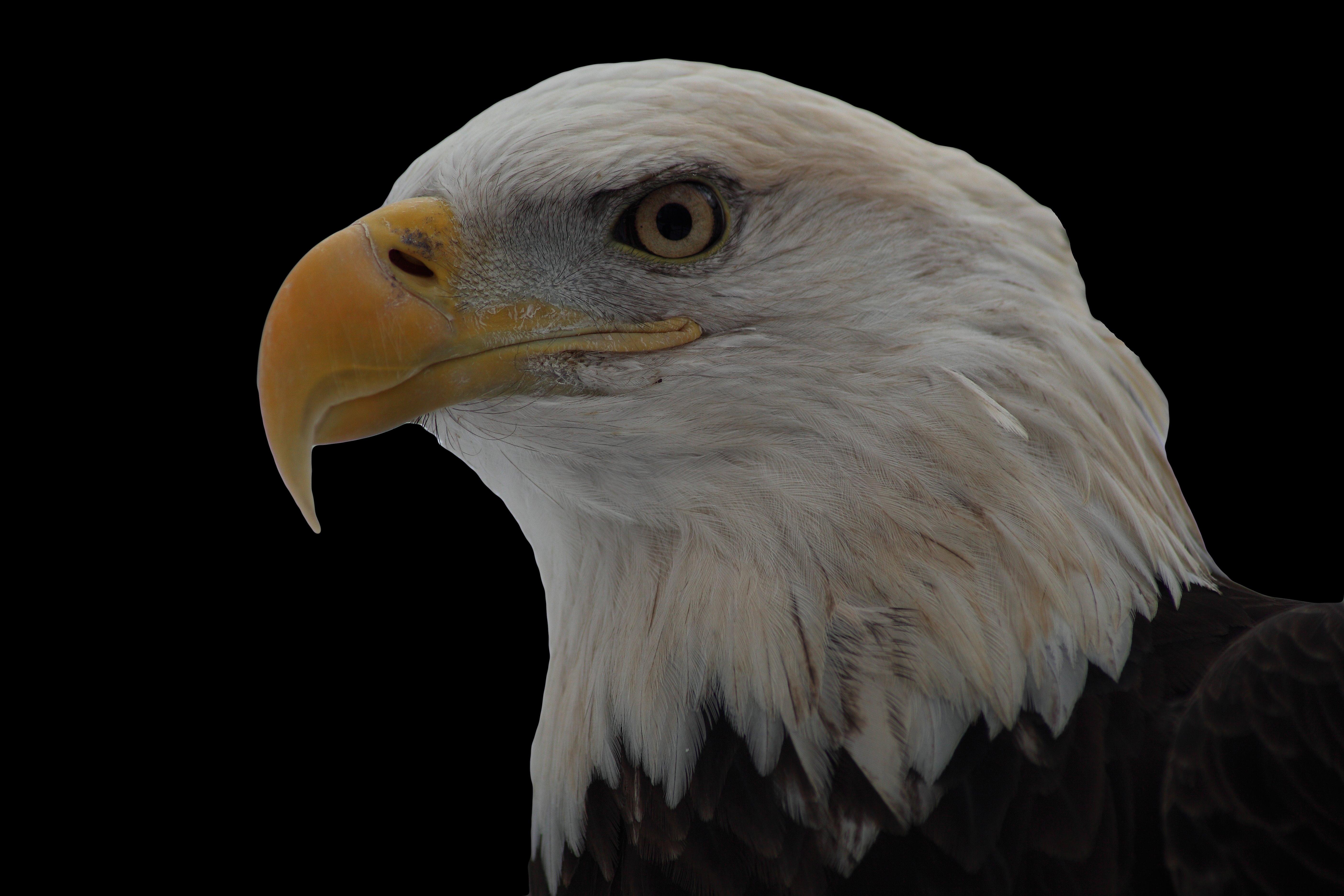 File:Bald-eagle-face-on-black - West Virginia - ForestWander.jpg ...