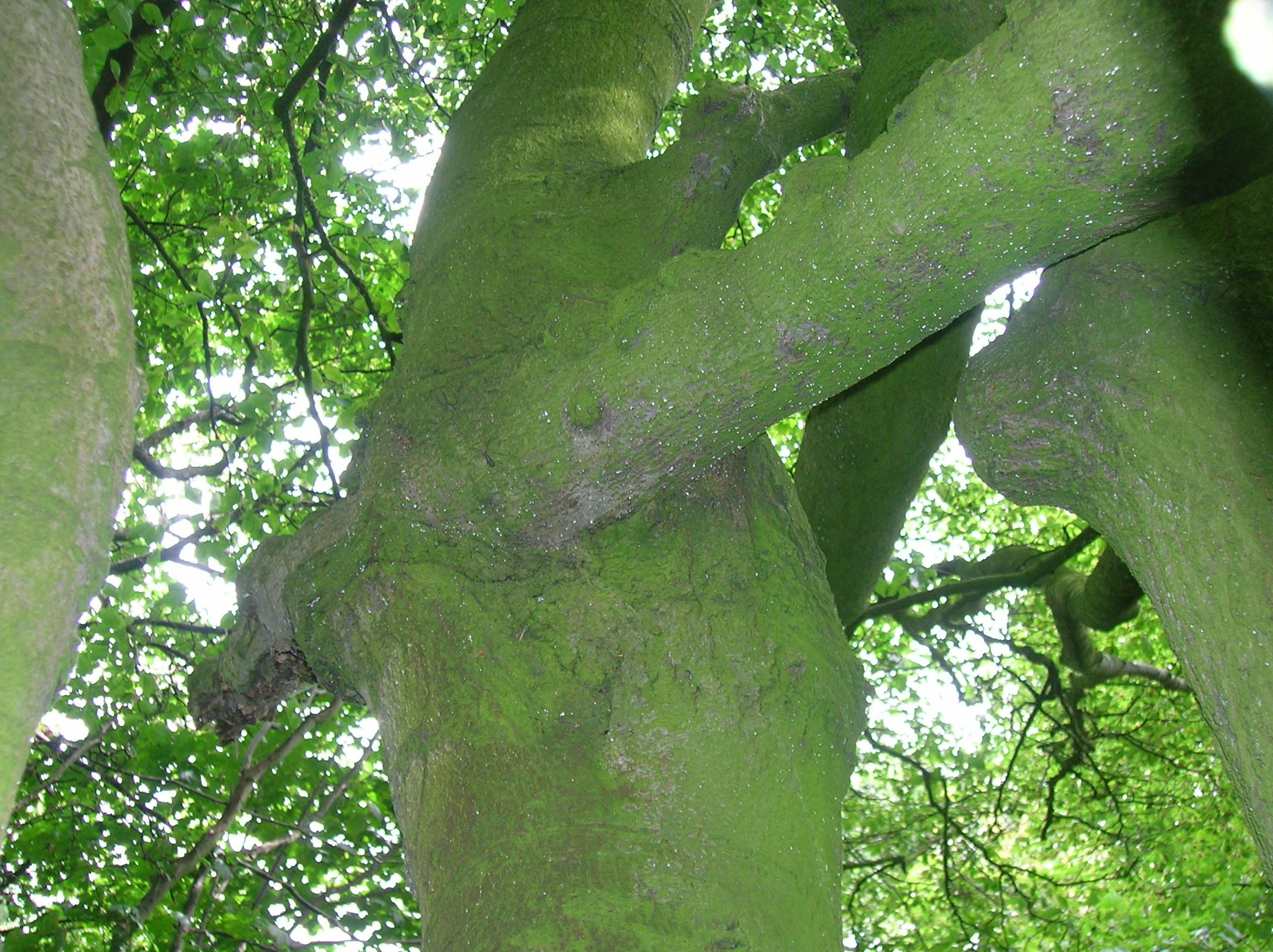 A magnificent beech tree garden law discussion for Garden law trees